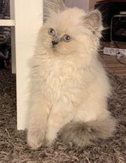 Baby Katze Weiblich in Blue