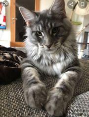 Reinrassige Maine Coone Kitten