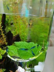 neocaridina davidi blaue Garnelen blue