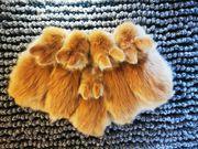 Teddyzwerge Zwergkaninchen Löwenköpfchen MiniLop Meerschweinchen