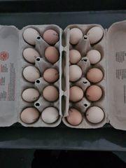 BE s Zwergseidenhühner Seidenhühner Zwergseidenhuhn