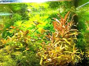 Cognacpflanze Aquariumpflanzen Versand