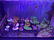 Korallen-Ableger ab 5 Euro abzugeben -
