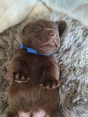 Reinrassige braune Labradorwelpen suchen ein