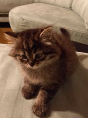 Verkaufe 3 kleine Katzen babys
