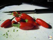 Florentiner-Chili-Samen