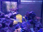 Gelber Langnasen Pinzettfisch Forcipiger flavissimus