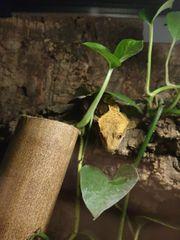Kronengecko mit Hochterrarium