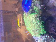 Affenhaar Meerwasser Koralle