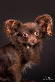 Chihuahua chocolate Langhaar Deckrüde deckt