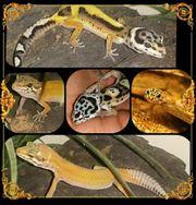 Gesunder Leopardgecko Nachwuchs aus Zucht