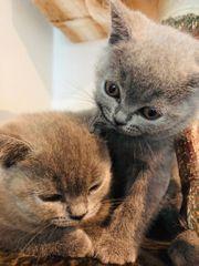 BKH Kitte sucht neues Zuhause
