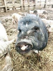Minischwein von seriöser geprüfter Zucht