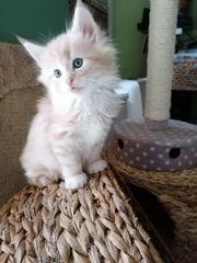 Norwegische Waldkatzen Kitten suchen ein