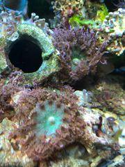 Meerwasser Korallen Sandanemonen Pilzlederkoralle