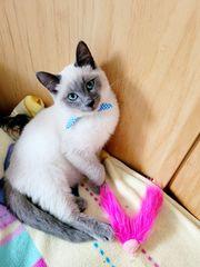 Siam-Thai Kitten ab sofort zum