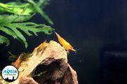 Orange Fire Garnelen Neocaridina davidi