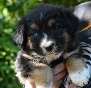 bezaubernd schöne Familienhund selten gefärbte