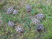 kleine Breitrandschildkröten NZ 2020