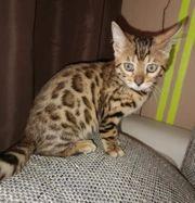 Bengal katze dringend abzugeben