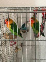 3 Unzertrennliche und Käfig Agaporniden
