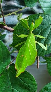 Wandelndes Blatt - Phyllium philippinicum
