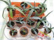Agaven Pflanzen in Töpfchen
