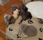 Britisch-Kurzaar Kitten Katzenbaybys BKH-Perser Wurftag