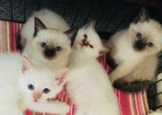BKH Kitten Heilige Birma