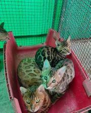 Schönes bengalisches Kätzchen zur Verfügung