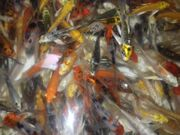 BUTTERFLY KOI MIX 7-10 cm