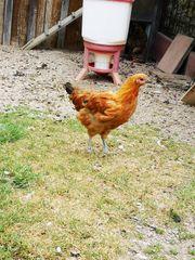 Hühner Hahn Hennen Brahma Zwergseidenhühner