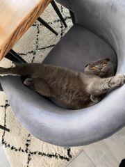 Britische kurzhaar Katze