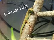 Lygodactylus williamsi 0 2 0