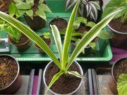 Clorophytum comosum Zimmerpflanze Grünlilie