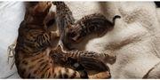 Reinrassige Bengal Katzenbabys in liebevoller
