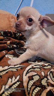 Mini Cihuahua