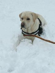 Labrador-Retriever Deckruder