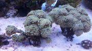 Meerwasser Koralle Euphillia Golden Sun