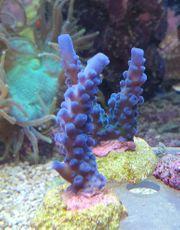 Meerwasser Korallenableger SPS LPS Krusten