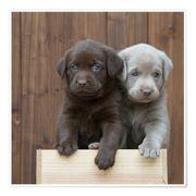 Suche Labrador Welpe Hündin