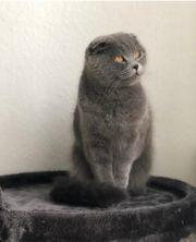 BKH Scottish fold Katze Lilac