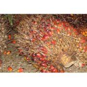 frische Palmfrüchte aus biologischem Anbau