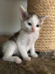 Maine Coon Mix Kitten x