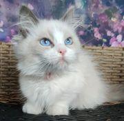 reinrassige Ragdoll-Kätzchen
