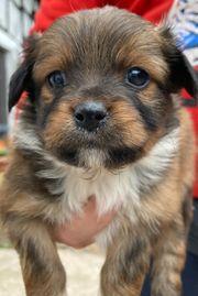 Süße Welpen Hundewelpen Kleinhund Mischling