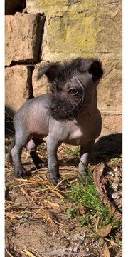 Hairless Terrier klein bleibend