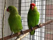 Zuchtpaar Taranta-Papageien