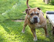 Bulldogge Welpen OEB x Conti