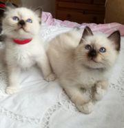 Heilige Birma Kitten himmelblaue Augen